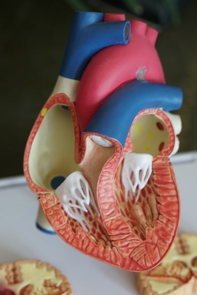 Model depicting the anatomy of a heart